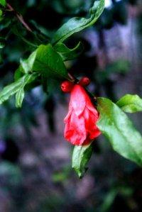 bunga delima merah