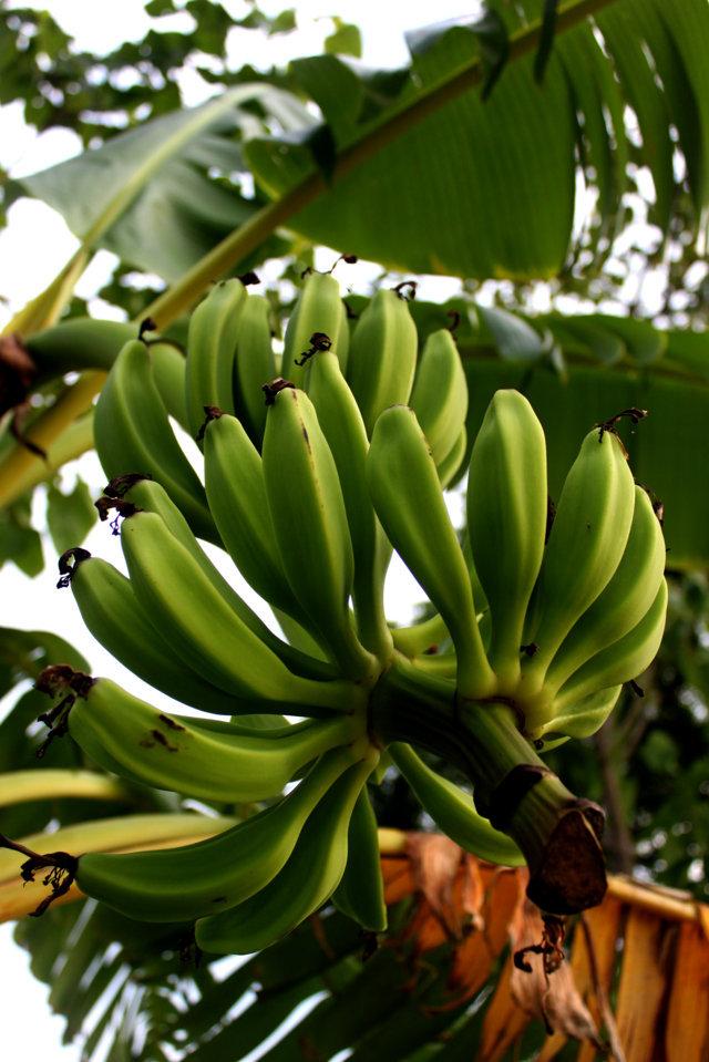 anak pisang