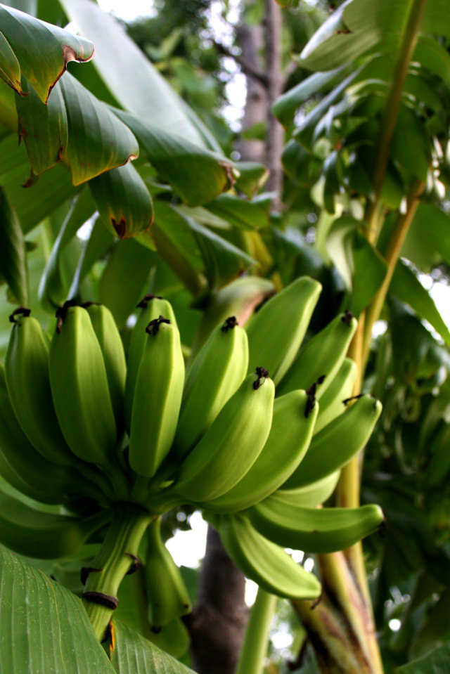 pisang di desa kami