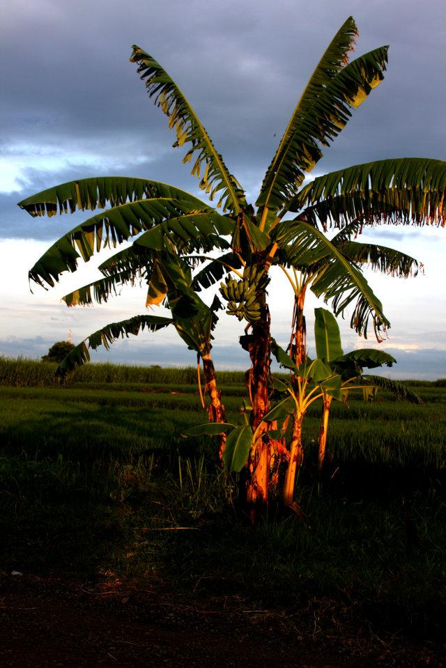 pisang simbol kesetiaan dan perawan 1