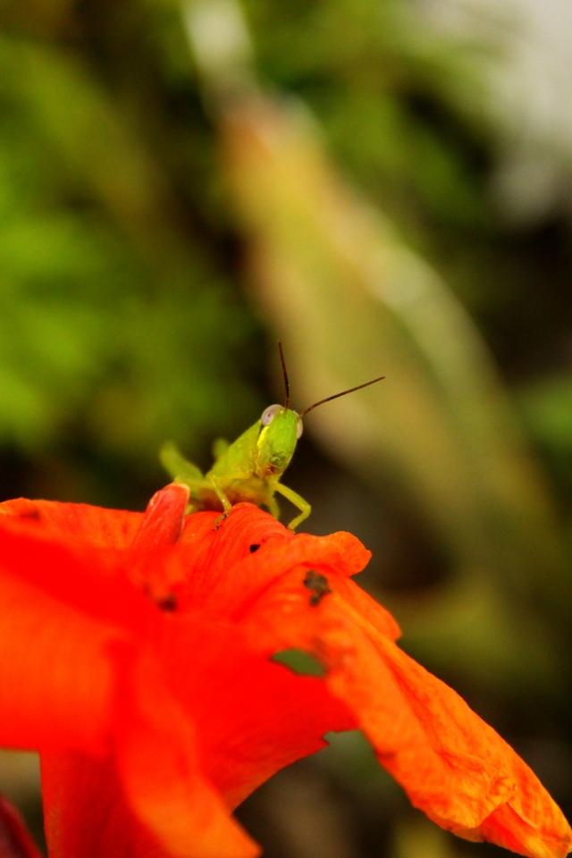 belalang muda fotografi