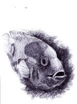 ikan Louhan drawing pen
