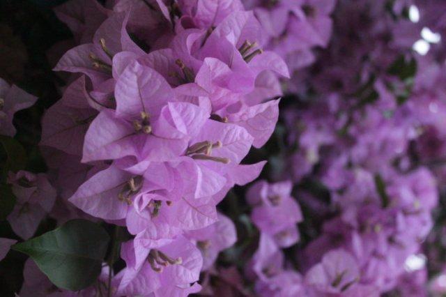 Bougainvillea bugenvil blossom