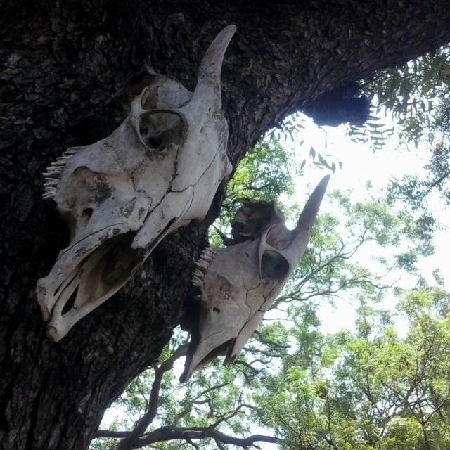 banteng taman nasional baluran