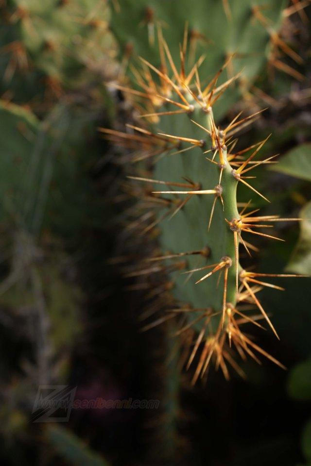 kaktus gunung